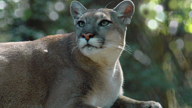 Florida Panther Kitten Killed By Car On I-75 Near Naples « CBS Miami